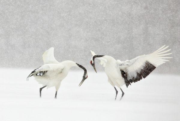 Tancho Zuru - Hokkaido Crane - Denise Ippolito